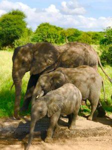 Танзания. слоны