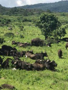 Танзания. Буйволы