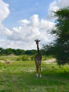 Танзания, жираф