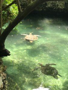 Черепаха Занзибар