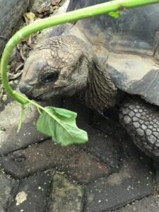 Занзибарские черепахи